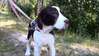 Hunter, An 11-year-old Springer Spaniel Available For Adoption Or 501(c)(3) Rescue In Manahawkin, Nj