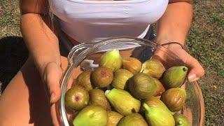 Fig Tree Picking Tour!