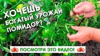 Как правильно формировать помидоры! Секрет большого урожая(Вырастить томаты на своем дачном участке может каждый желающий. Редко когда можно встретить дачника, котор..., 2016-07-13T15:49:59.000Z)