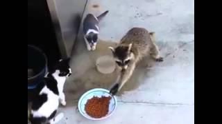 Енот украл немного корма (Видео с Vine)
