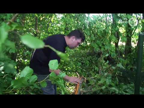 Verwoesting boomgaard in Dreumel: 'Niet te geloven'