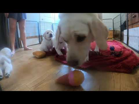 LIVE STREAM Puppy Cam! Adorable Labrador Puppies