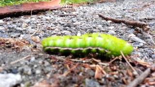Caterpillar on a stroll, August 2012
