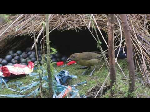 Vogelkops bowerbird Sujan Chatterjee