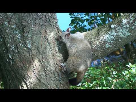 Hunting New Zealand Possum: Possum Trapping