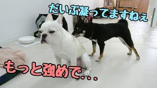 フレンチブルドッグ Vinoちゃん ミックス犬 ザックくん ポメラニアン 宇...