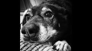 #19 AUSTRALIAN KELPIE 1/3  | Which Dog Should I Get? Dog Breed Selector