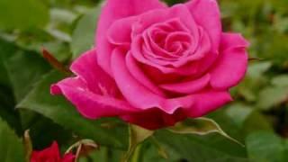 Valse de roses