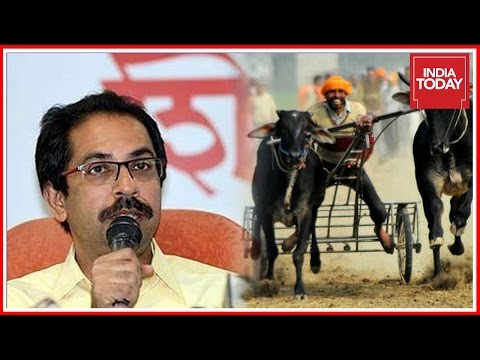 Jallikattu Ripples In Maharashtra; Shiv Sena Demands For Bullock Cart Race