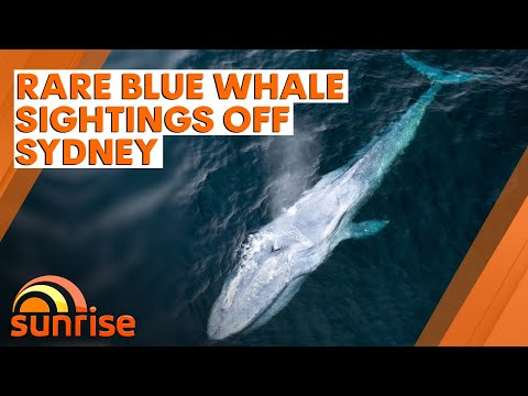 Rare Blue Whale Sightings Off Sydney | 7NEWS