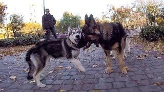 ОПАСНАЯ МИЛОТА! немецкая овчарка и щенок / хаски и стая собак шелти