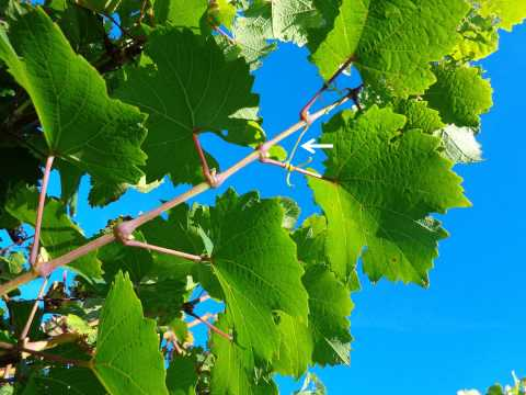 Green Parts Of The Vine - Grape Video #4