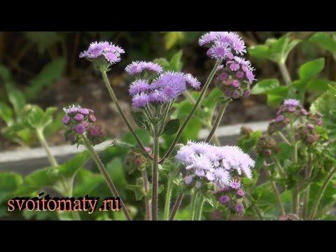 Агератум: выращивание и уход