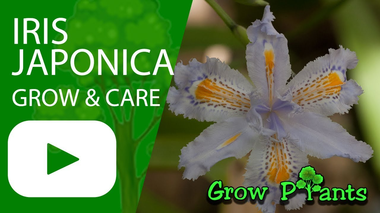 Iris japonica flower how to grow and care youtube iris japonica flower how to grow and care izmirmasajfo