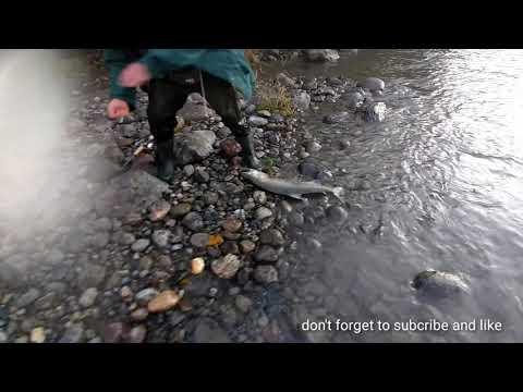 Wow Big Spring Salmon Caught In Vedder River Chilliwack B.c