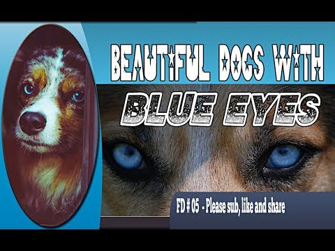 Beautiful dogs with blue eyes - FD 05