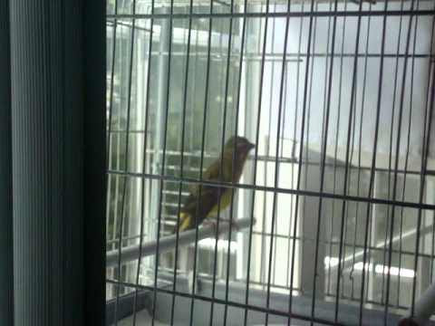 Green singer vs yellow canary(mule 2011)bebetobirds TRAVEL_VIDEO