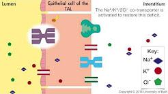 How loop diuretics work