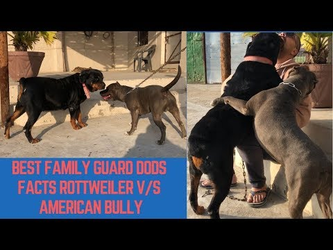 Best Family Guard Dogs Facts Rottweiler V/S American Bully