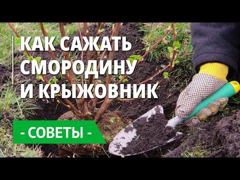 Как сажать крыжовник и смородину? Где выбрать правильное место и как подготовить  для них почву?
