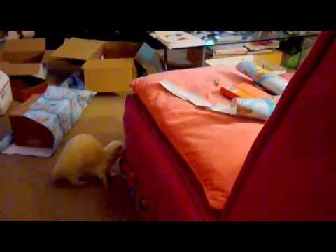 Jack ferret helps with Christmas wrapping