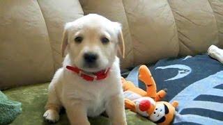 Милый щенок лабрадора зовет маму