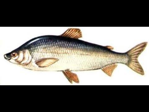 Промысловые рыбы. Биология 7 класс