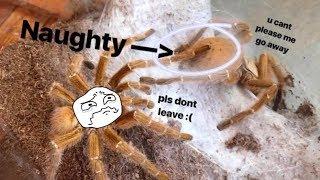 Tarantula Pairing ~ Gave him TWO females and he
