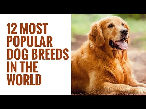 12 Most Popular Dog Breeds In The World | 12 Different Types Of Dogs