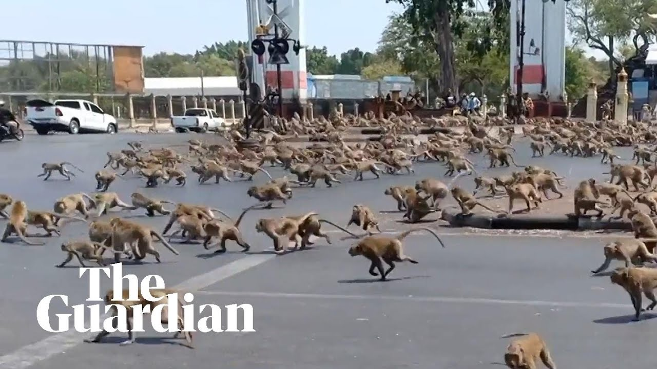 Hungry monkeys brawl over food as coronavirus hits tourism in Thailand