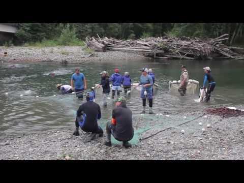 Stillaguamish Tribe Chinook Broodstocking 2016