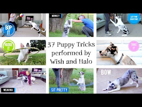37 Puppy Tricks by Halo and Wish