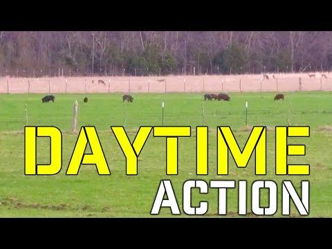 Daytime Feral Hog Hunting in Texas