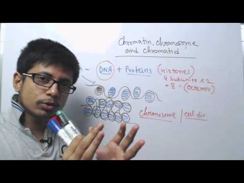 Chromosome chromatin and chromatid