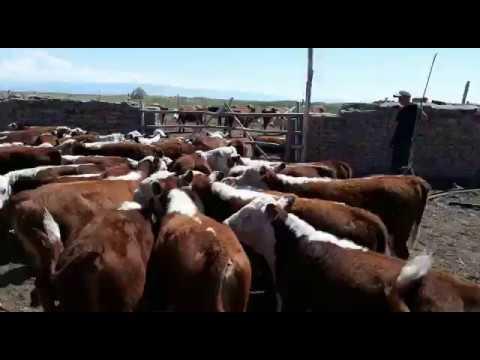 Купить продать молодняк крупного рогатого скота по оптовым ценам: 205. Бычки мясных пород от 100 до 250 кг порода герефорд отлично для.