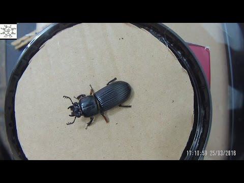 Common Black Ground Beetle