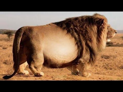 9 Tiere, die nicht wussten, wann sie aufhören sollten zu essen!