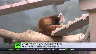 Cute red panda comes to Moscow Zoo