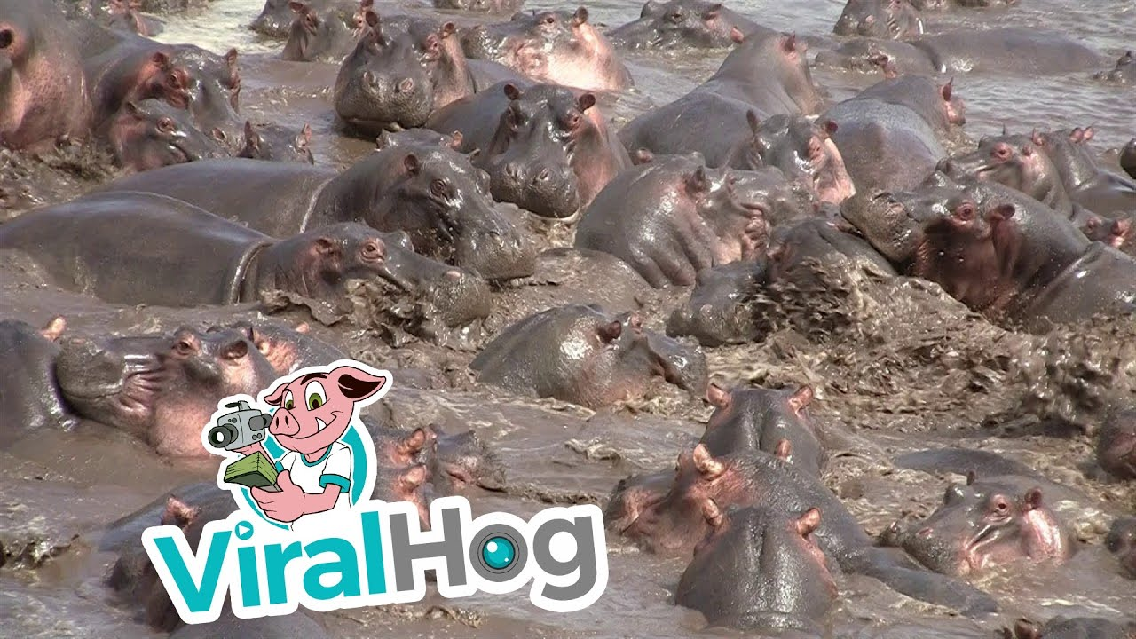 Funny Video: 30 Hippos Attack 1 Crocodile