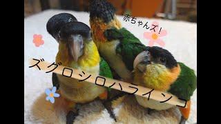 【えとぴりか東京】ズグロシロハラ
