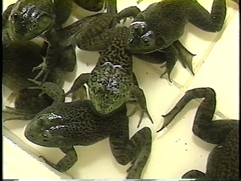 Reproduction and grow-out of bullfrogs in Brazil