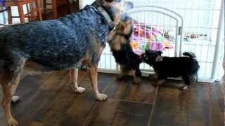 Australian Cattle Dog Vs Linandy Yorkshire Terriers Puppies!.mov