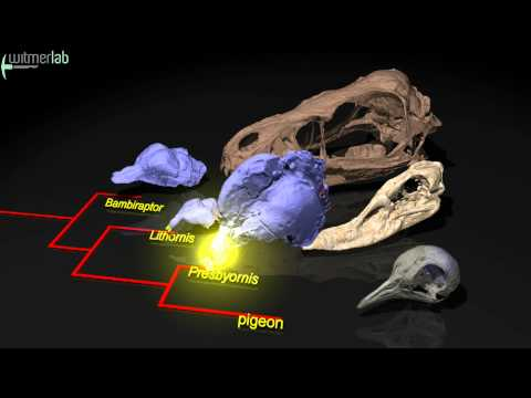 Evolution of olfaction (sense of smell) in birds and dinosaurs