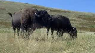 Repeat youtube video Montana buffalo mating season