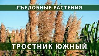 Съедобные растения. Тростник