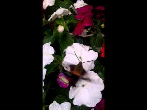 One Bee Hummingbird