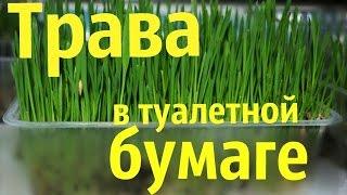 КАК ПРОРАСТИТЬ ТРАВУ В ТУАЛЕТНОЙ БУМАГЕ/2способ/SvinkiOnline