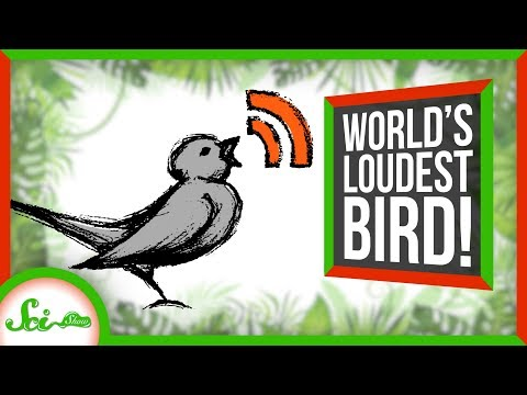 Loudest Bird in the World Screams at its Mate | SciShow News