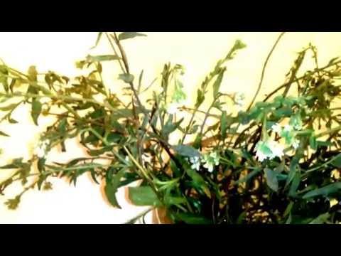 Икотник серо-зеленый / Энциклопедия растений /