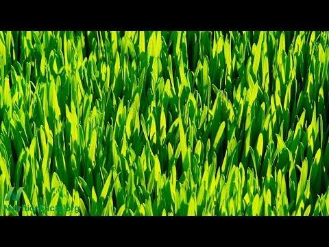 Wheatgrass Juice for Ulcerative Colitis